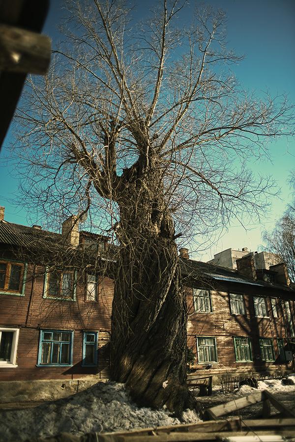 Одно из самых старых деревьев костромы сохранилось во дворе дома 12 на ул. Овражной. Фото 2014 г.